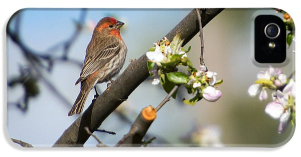 House Finch IPhone 5 Case by Mike Dawson