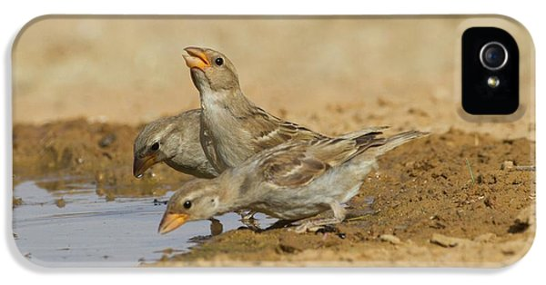 House Sparrow Passer Domesticus Biblicus IPhone 5 Case by Photostock-israel