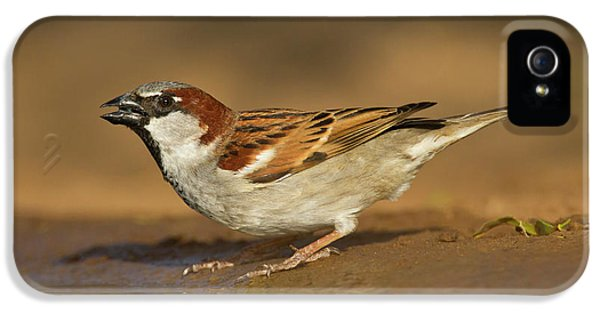 House Sparrow (passer Domesticus IPhone 5 Case by Larry Ditto