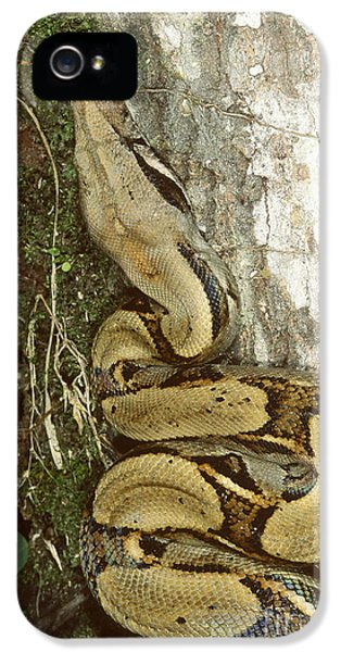 Juvenile Boa Constrictor IPhone 5 / 5s Case by Gregory G. Dimijian, M.D.