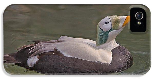 King Eider Duck IPhone 5 Case by Susan Candelario