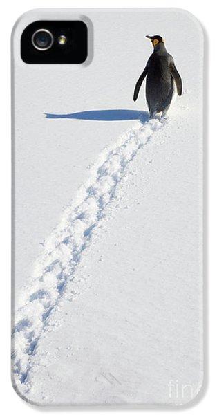 King Penguin And Tracks S Georgia Island IPhone 5 Case by Yva Momatiuk and John Eastcott