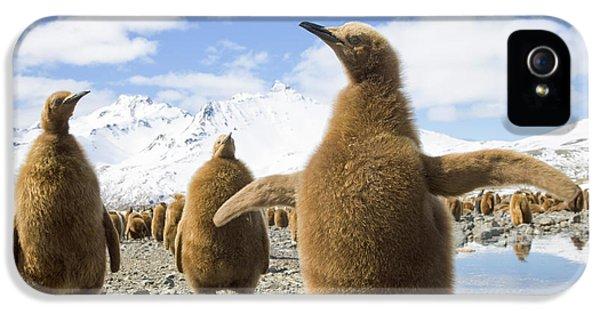 King Penguin Chicks South Georgia Island IPhone 5 Case by Yva Momatiuk and John Eastcott
