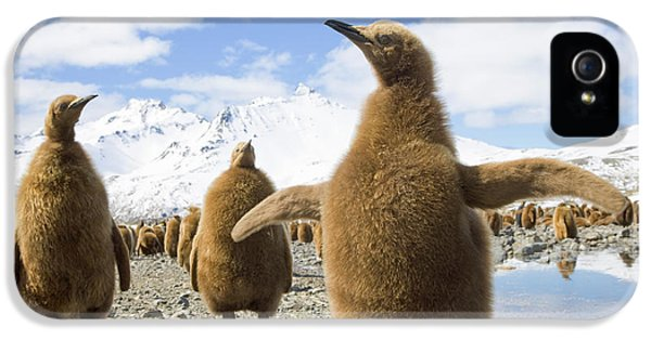 King Penguin Chicks South Georgia Island IPhone 5 / 5s Case by Yva Momatiuk and John Eastcott