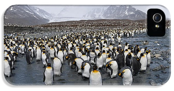 King Penguins Aptenodytes Patagonicus IPhone 5 Case by Panoramic Images