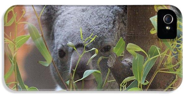 Koala Bear  IPhone 5 Case by Dan Sproul