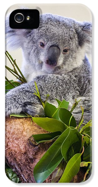 Koala On Top Of A Tree IPhone 5 / 5s Case by Chris Flees
