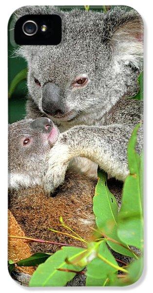 Koala iPhone 5 Case - Koalas by Bildagentur-online/mcphoto-schulz