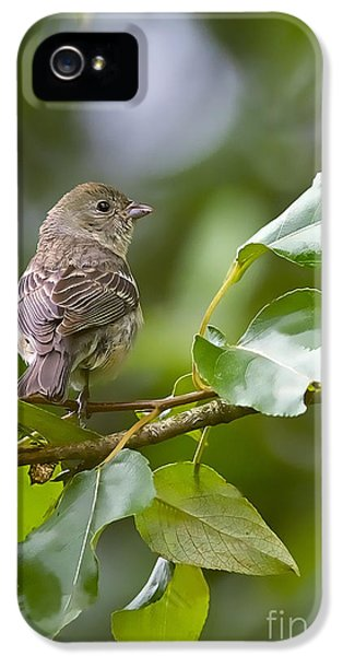 Lazuli Bunting Female 2 IPhone 5 Case by Sharon Talson