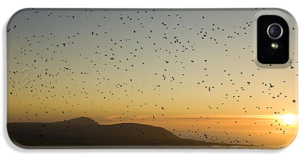 Least Auklets, Returning To Their Nest IPhone 5 Case by Brian Guzzetti