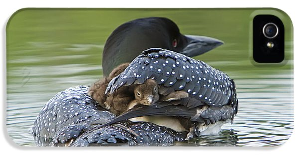 Loon iPhone 5 Case - Loon Chick - Peek A Boo by John Vose