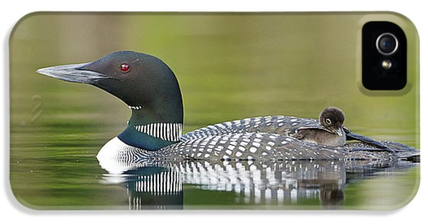 Loon iPhone 5 Case - Loon Chick With Parent - Quiet Time by John Vose