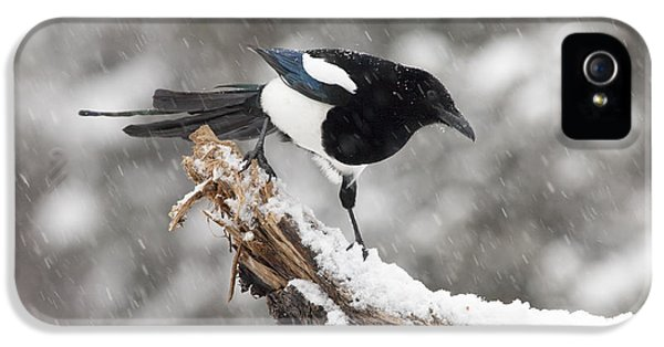 Magpie Out On A Branch IPhone 5 Case by Tim Grams