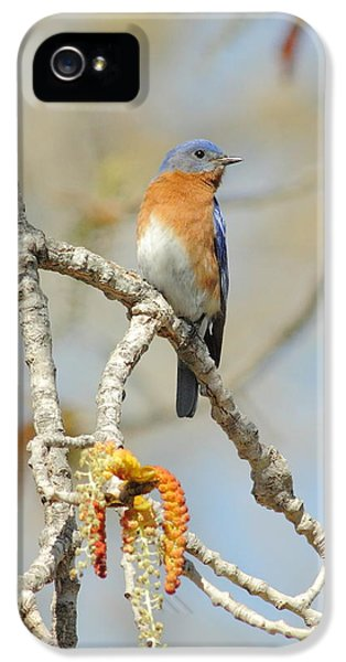 Male Bluebird In Budding Tree IPhone 5 Case by Robert Frederick