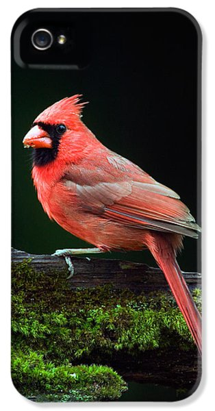 Male Northern Cardinal Cardinalis IPhone 5 Case by Panoramic Images