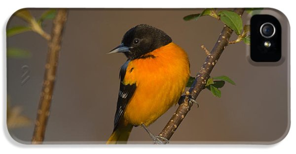 Male Northern Oriole IPhone 5 / 5s Case by Thomas and Pat Leeson