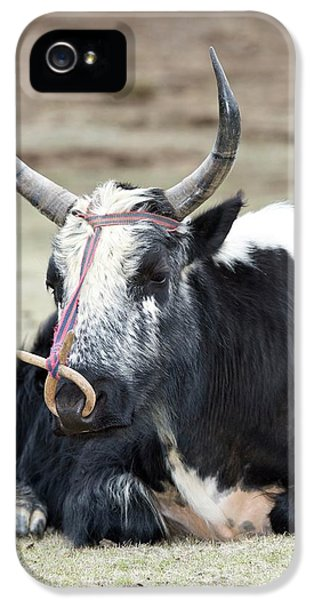 Male Yak In Potatso National Park IPhone 5 Case by Tony Camacho