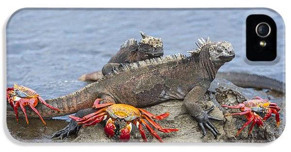 Marine Iguana Pair And Sally Lightfoot IPhone 5 Case by Tui De Roy