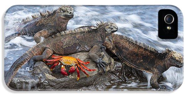 Marine Iguana Trio And Sally Lightfoot IPhone 5 Case by Tui De Roy