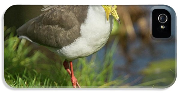 Masked Lapwing IPhone 5 Case by Bob Gibbons