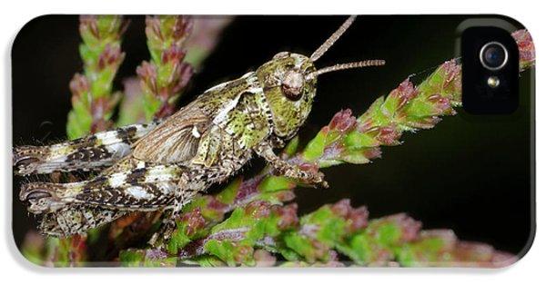 Mottled Grasshopper Juvenile IPhone 5 Case by Nigel Downer