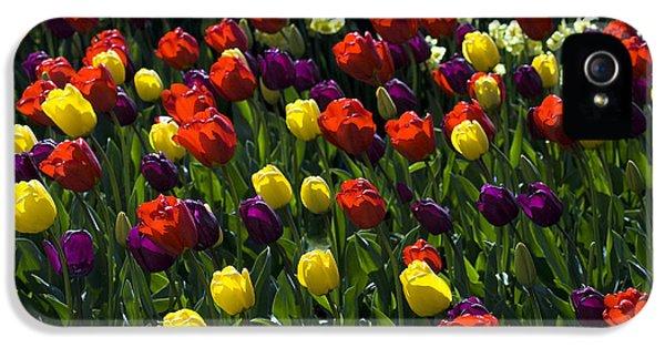 Multicolored Tulips At Tulip Festival. IPhone 5 Case by Yulia Kazansky