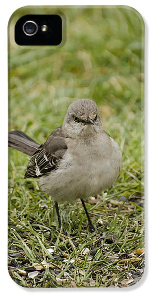 Northern Mockingbird IPhone 5 Case by Heather Applegate