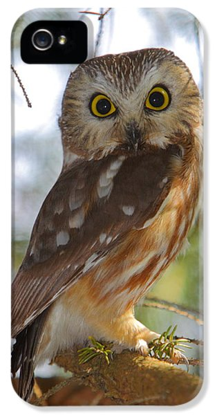 Northern Saw-whet Owl IPhone 5 Case
