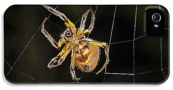 Orb-weaver Spider In Web Panguana IPhone 5 Case by Konrad Wothe