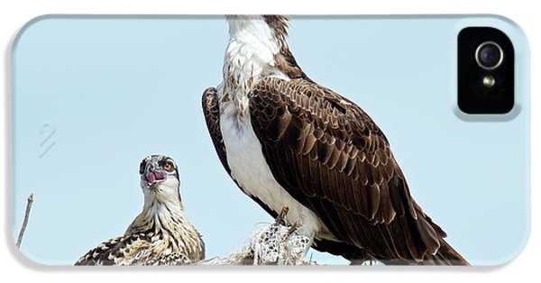 Osprey And Chick IPhone 5 Case by Bob Gibbons