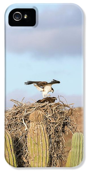Ospreys Nesting In A Cactus IPhone 5 Case by Christopher Swann