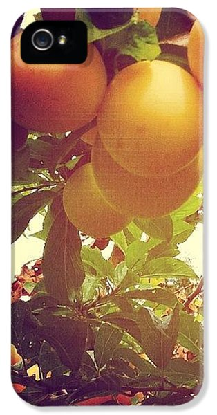 Orange iPhone 5 Case - Our Plum Tree Is Loaded This Year...any by Blenda Studio