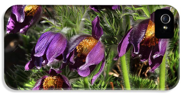 Pasque Flowers IPhone 5 Case by Donna Kennedy