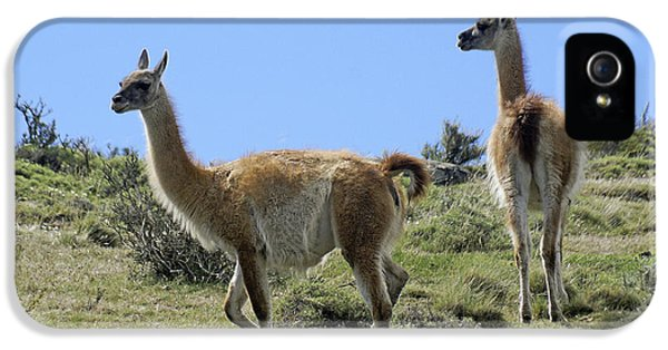 Llama iPhone 5 Case - Patagonian Guanacos by Michele Burgess