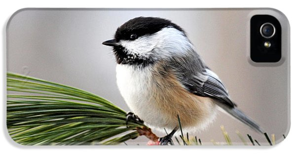 Pine Chickadee IPhone 5 Case by Christina Rollo
