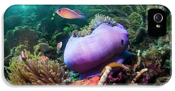 Pink Anemonefish With Magnificent Anemone IPhone 5 Case by Georgette Douwma