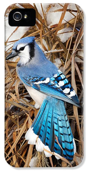 Portrait Of A Blue Jay IPhone 5 Case by Bill Wakeley