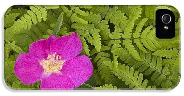 Prickly Rose Bloom In Ferns Far North IPhone 5 Case by Carl R. Battreall