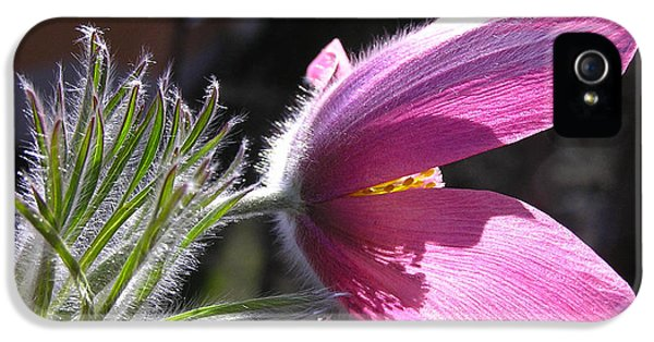 Purple Pasque Flower - Closeup IPhone 5 Case by Kerstin Ivarsson