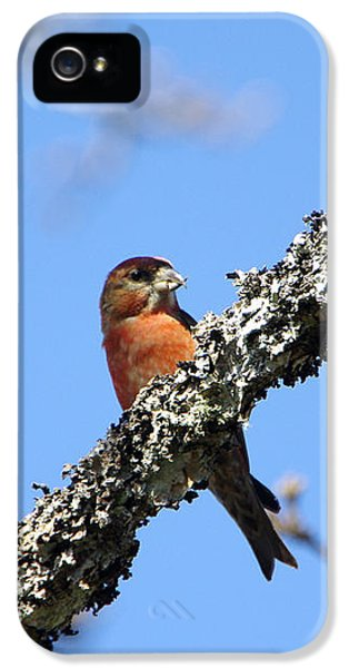 Red Crossbill Finch IPhone 5 Case by Marilyn Wilson