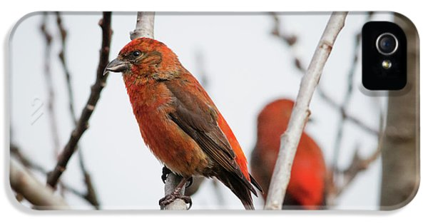 Red Crossbills Perch In A Willow IPhone 5 Case by Robert L. Potts