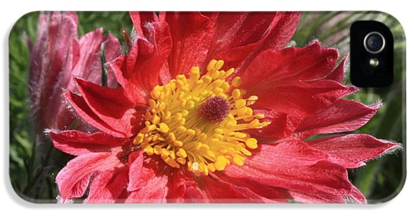 Red Pasque Flower IPhone 5 Case by Carol Groenen