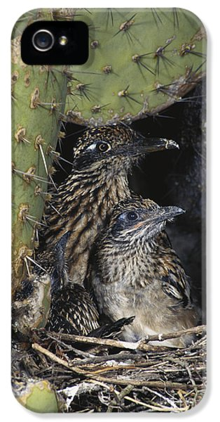 Roadrunner iPhone 5 Case - Roadrunners In Nest by Anthony Mercieca