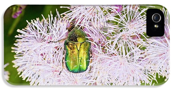 Rose Chafer On Meadow-rue Flowers IPhone 5 Case by Bob Gibbons