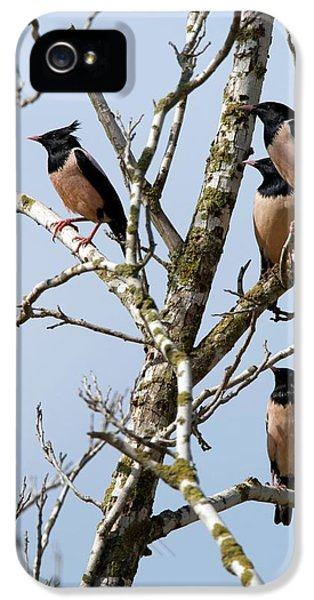 Rosy Starling (sturnus Roseus) IPhone 5 Case by Photostock-israel