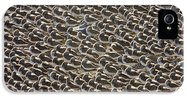Semipalmated Sandpipers Sleeping IPhone 5 Case by Yva Momatiuk John Eastcott