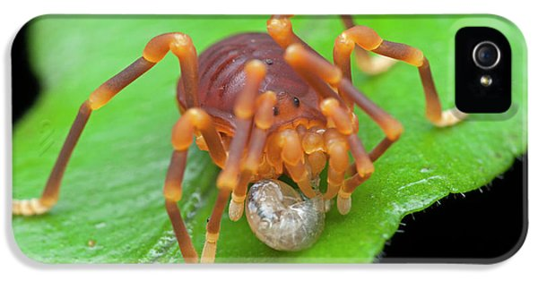Short-legged Harvestman With Prey IPhone 5 Case by Melvyn Yeo