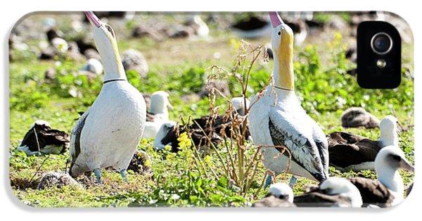 Short-tailed Albatross (phoebastria IPhone 5 Case by Daisy Gilardini