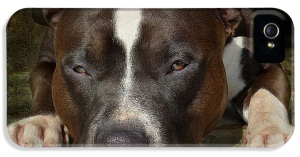 Bull iPhone 5 Case - Sleepy Pit Bull by Larry Marshall