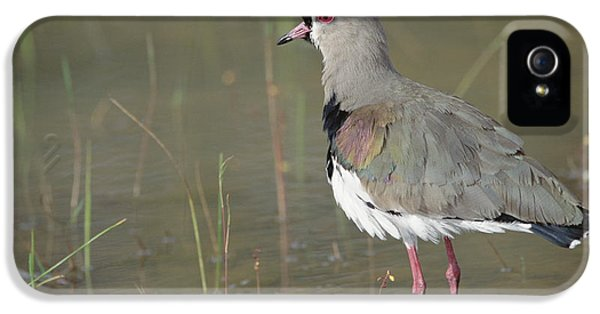 Southern Lapwing In Marshland Pantanal IPhone 5 Case by Tui De Roy